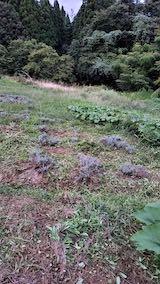 20210903草刈り後のラベンダー畑3