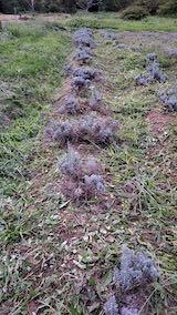 20210903草刈り後のラベンダー畑1