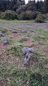 20210903草刈り後のラベンダー畑2