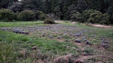 20210903草刈り後のラベンダー畑4