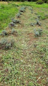 20210904昨日草刈りを終えた場所のラベンダーの列