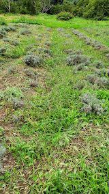 20210904草刈り前のラベンダー畑1