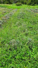 20210904草刈り前のラベンダー畑2