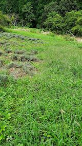 20210904草刈り前のラベンダー畑4