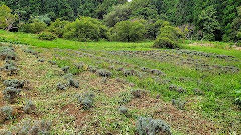 20210904草刈り前のラベンダー畑5