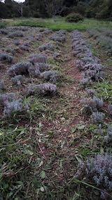 20210904草刈り後のラベンダー畑1