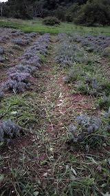 20210904草刈り後のラベンダー畑2