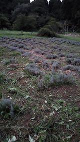 20210904草刈り後のラベンダー畑3