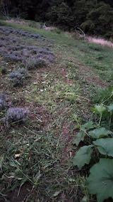 20210904草刈り後のラベンダー畑4