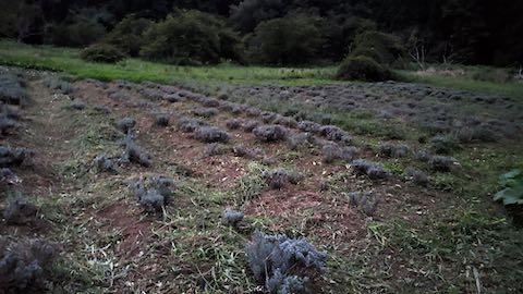 20210904草刈り後のラベンダー畑6