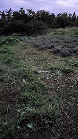 20210904草刈り後のラベンダー畑周囲