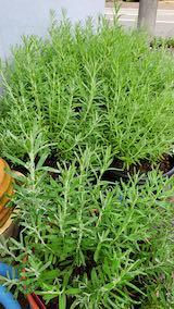20210905お店横の鉢植えの早咲きラベンダー