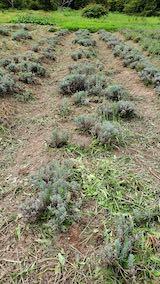 20210905昨日草刈りを終えたラベンダーの列