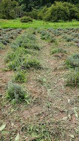 20210905草取りの残っていたラベンダーの列