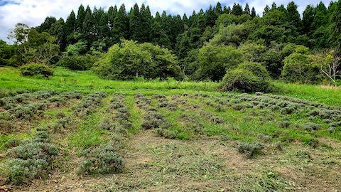 20210905草刈り前のラベンダー畑1