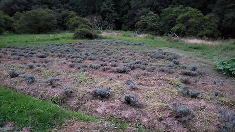 20210905草刈り後のラベンダー畑1