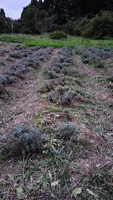 20210905草取りと刈り込みを終えたラベンダーの列