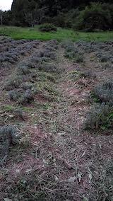 20210905草刈り後のラベンダーの列1