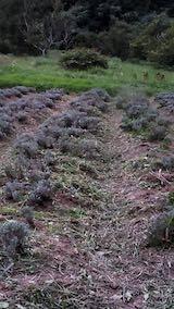 20210905草刈り後のラベンダーの列2