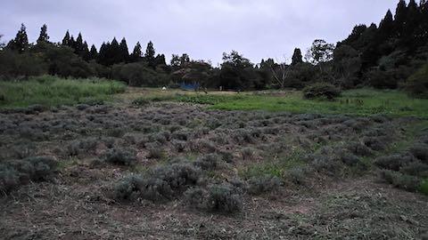 20210905草刈り後のラベンダー畑6