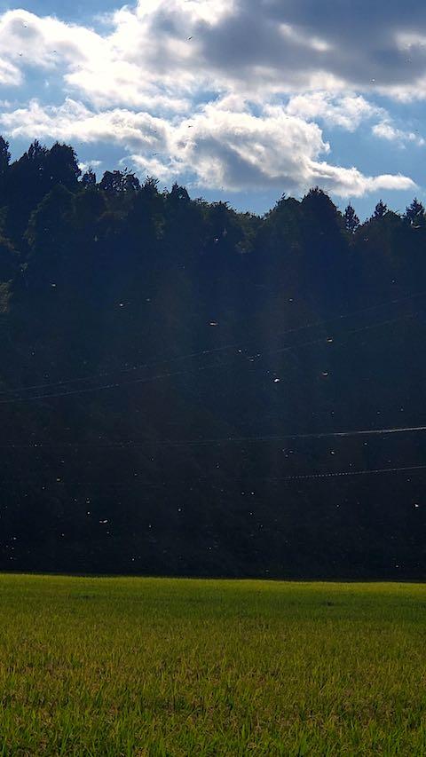 20210906山へ向かう途中の田んぼと空赤とんぼの大群2
