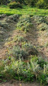 20210906草取りと刈り込み前のラベンダーの列