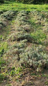 20210906草刈り前のラベンダーの列1
