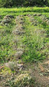 20210906草刈り前のラベンダーの列3