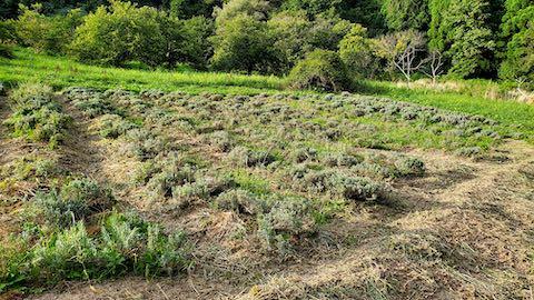 20210906草刈り前のラベンダー畑