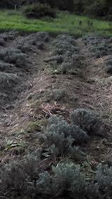 20210906草取りと刈り込み後のラベンダーの列