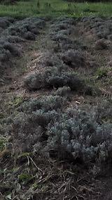 20210906草刈り後のラベンダーの列1