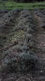 20210906草刈り後のラベンダーの列2