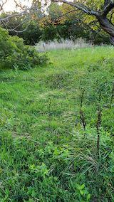 20210907栗の木の下草刈り前の様子1