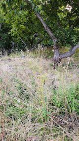 20210907栗の木の下草刈り前の様子3