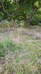 20210907栗の木の下草刈り前の様子4
