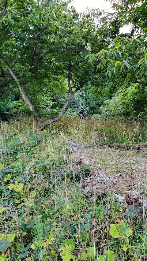 20210907栗の木の下草刈り前の様子