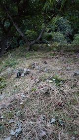 20210907栗の木の下草刈り後の様子2