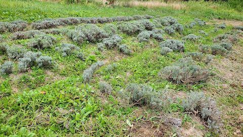 20210908草刈りを始める前のラベンダー畑の様子