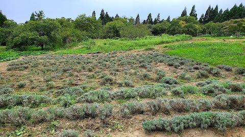 20210908草取り刈り込み草刈りを終えたラベンダー畑の様子2