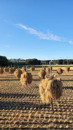 20210918山へ向かう途中の田んぼ手刈り天日干し1