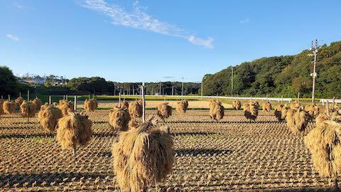 20210918山へ向かう途中の田んぼ手刈り天日干し3