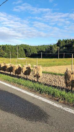 20210918山へ向かう途中の田んぼ手刈り天日干し2